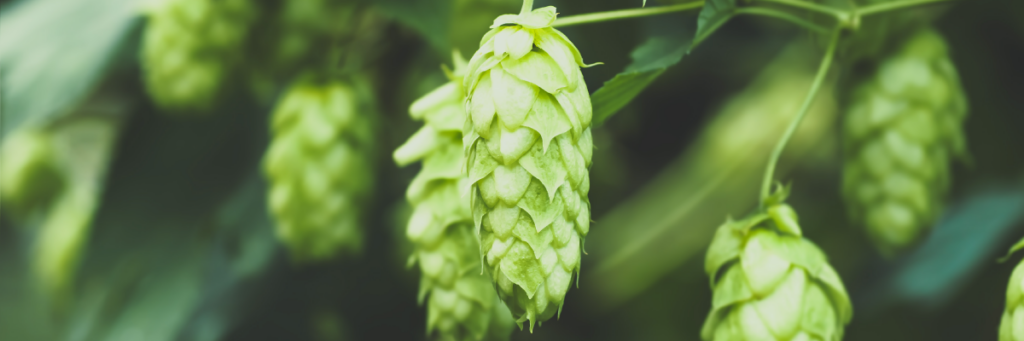 Fresh hops on the bine